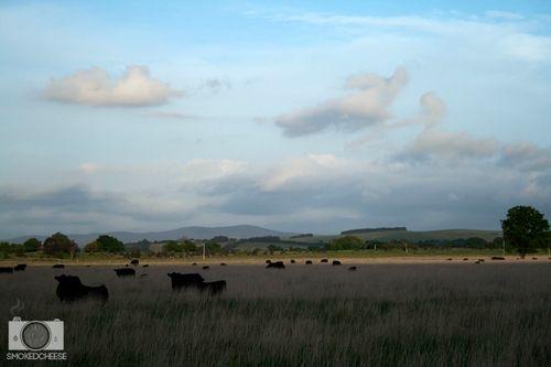 Cows 11-11-11