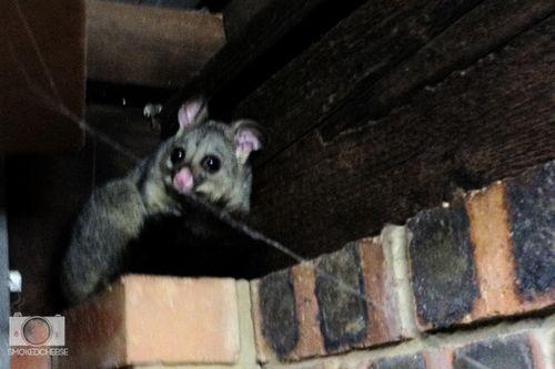 Possum 3-12-11