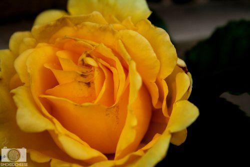 Rose 31-10-11