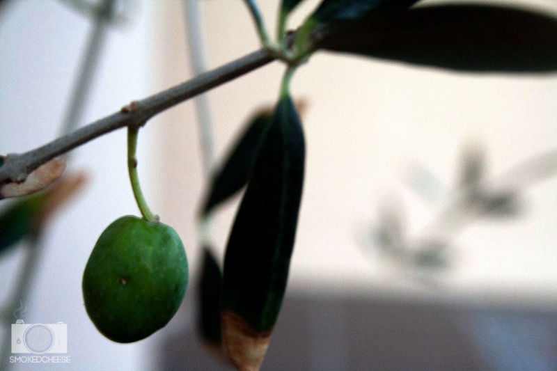 Olive 2-4-12