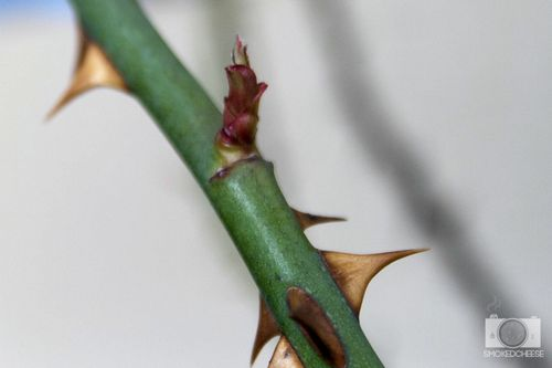 Thorn 26-6-12