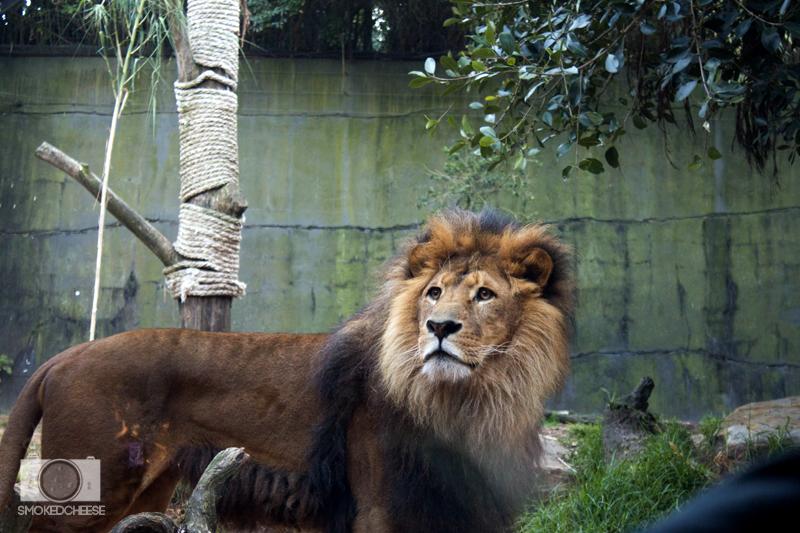 Lion 8-9-12